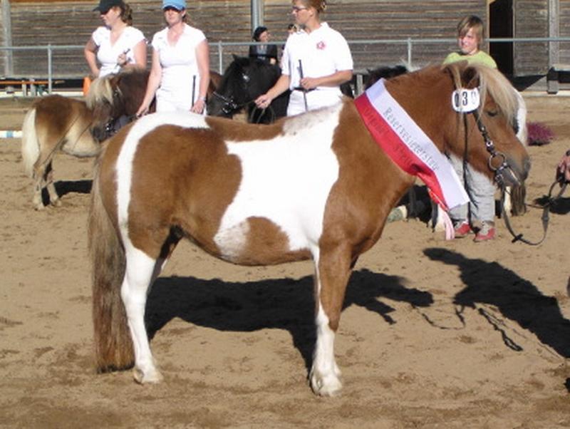 Die dreijährige Whiteside Feline wurde mit einem Ia-Preis und dem Titel Reservesiegerstute prämiert. Züchter Katrin Zwygart, Achberg: Besitzer Ponyzucht Isaron, Weißenkirchen