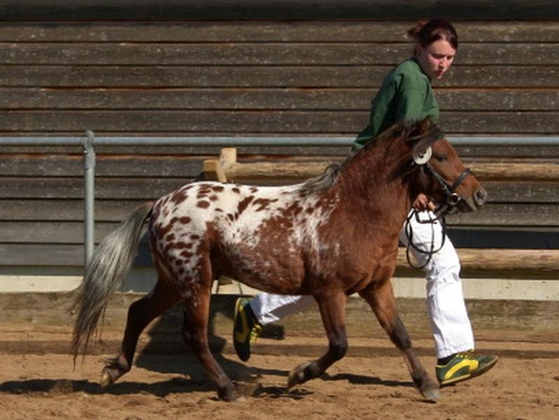 Kirchweihtals Apache, ein zweijähriger Hengst wurde mit einem Ia-Preis ausgezeichnet und wurde Jugendreservesieger.