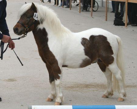 Isarons Rock'n Roll, ein deutscher Partbred Shetlandhengst, Reservesieger bei der Ponykörung in München-Riem 2010