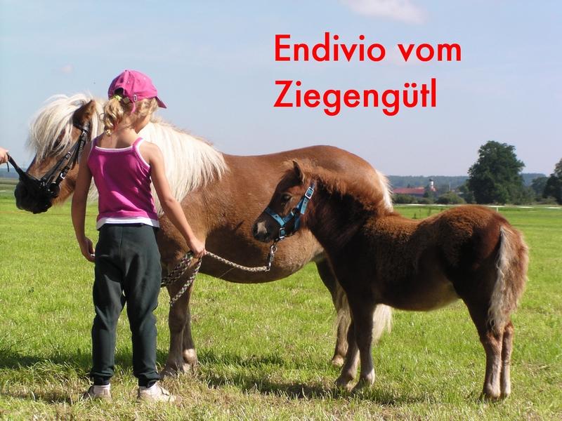 Endivio vom Ziegengütl, Auktionspony für Babenhausen