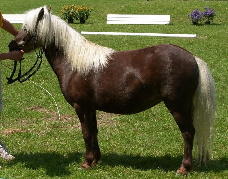 Farbenfrohs Britney, Siegerin der Classic-Ponys, Züchter und Besitzer Artur Nieberle