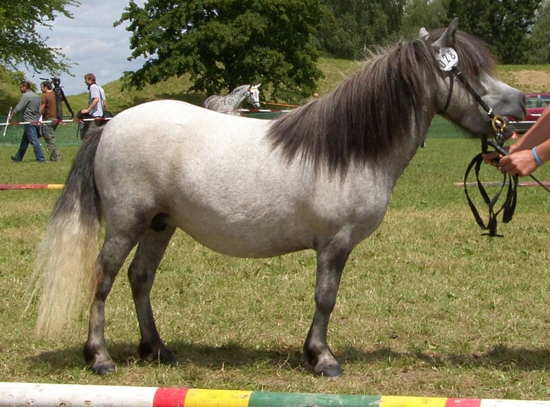 Shetland-Partbred-Stute Just for Fun, Besitzerin Sylvia Zwickl, Schlossberg
