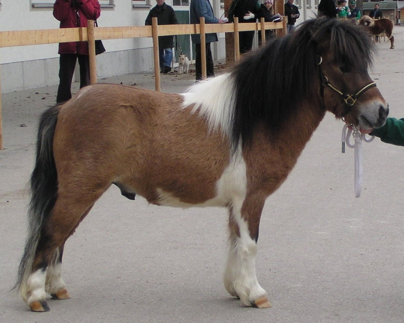 Partbred Mini-Hengst Made in Germany, Besitzer Franz Windecker