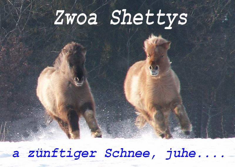 Zwei Shettys vom Gestüt Oberhofer aus Kaltental bei Dingolfing.