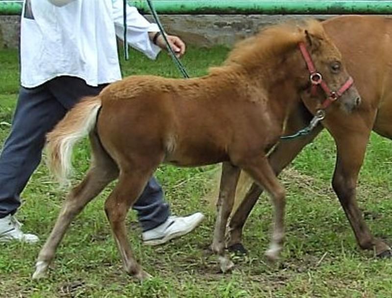 Olivia vom Taubergrund, Deutsches Classic Pony, Züchterund Besitzer Familie Kellermann, Hausen