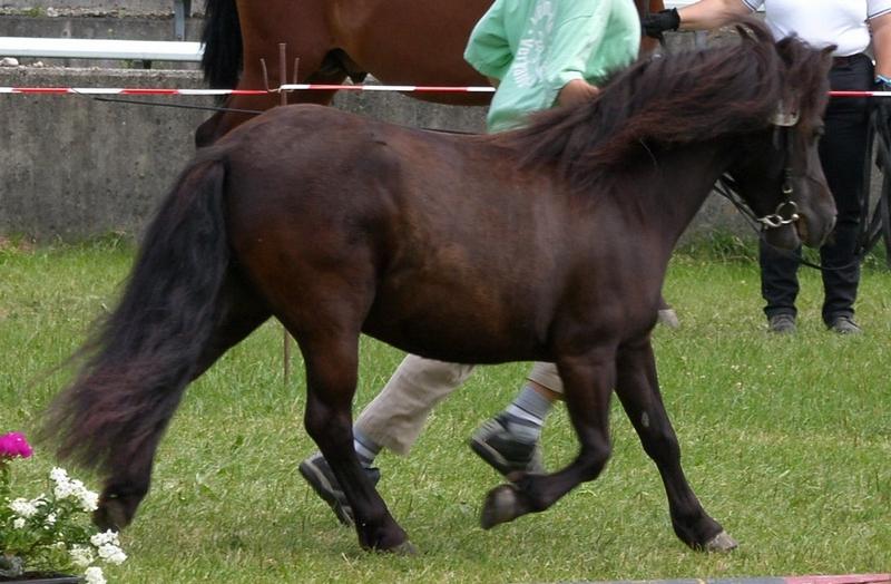 Champion der Freizeitponys wurde die Orginal-Shetlandstute Prinzess im Besitz von Erika Roßhaupt in Warching.