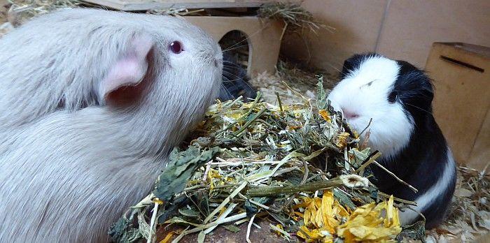 Schweinemann Aurin testet mit seiner Mitarbeiterin Apfel den Abenteuerschmaus Spezial
