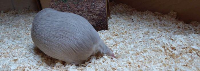 Meerschweinchen Aurin mit gesunden Pfoten