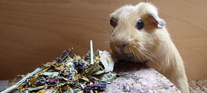 Meerschweinchen Ilani testet Chinchillatraum