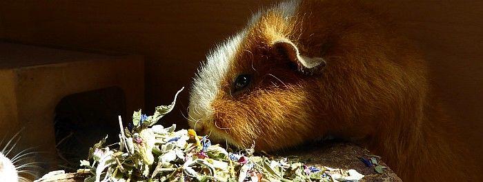 Meerschweinchen Eddie verkostet Darmschoner im Ötti-Testcenter