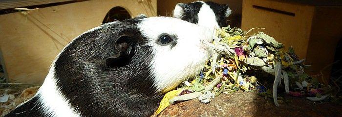 Meerschweinchen Lotti verkostet Darmschoner im Ötti-Testcenter