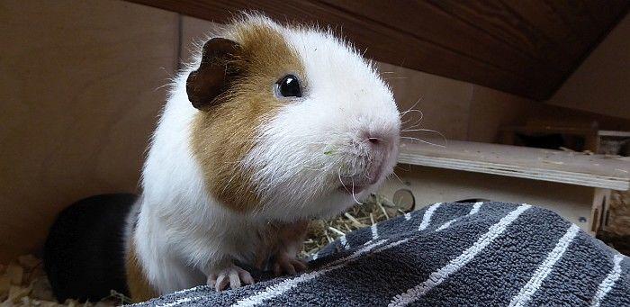 Meerschweinchen Eddie