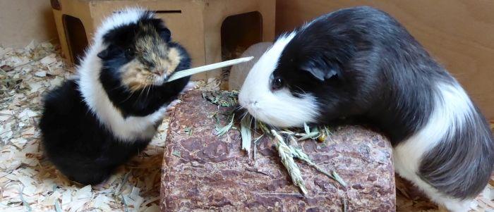 Meerschweinchen Flummi testet den Aldi-Kräuter-Mix