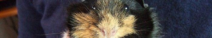 Meerschweinchen Flummi klebt am Pullover