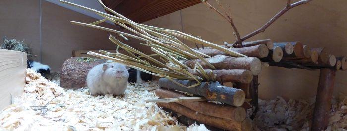 Meerschweinchen testen Giersch