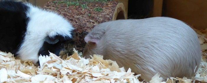 Meerschweinchen buddeln Herbs aus