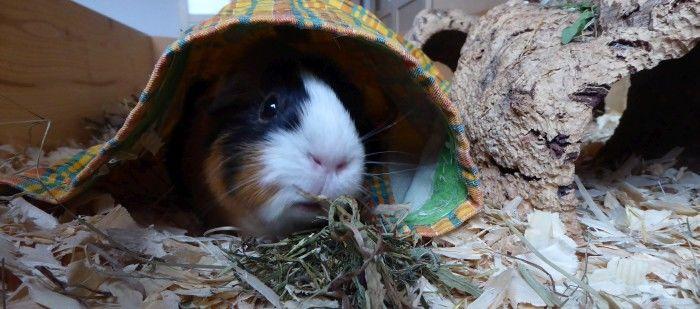 Meerschweinchen Muffi testet Herbs