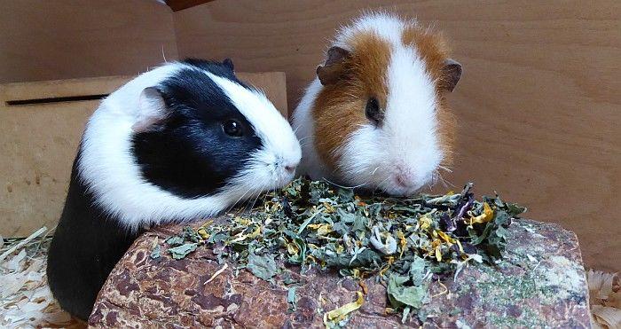 Meerschweinchen Eddie und Chrissy testen die Himmelei im Ötti-Testcenter