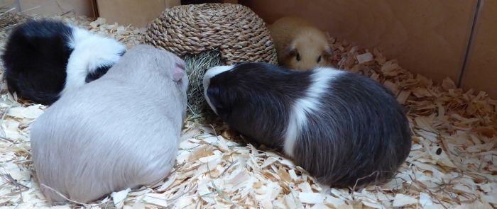 Meerschweinchen testen das Gras-Iglu