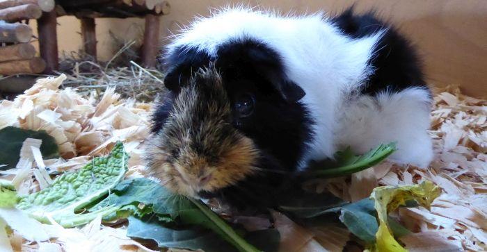 Kohlrabiblätter als Geschenk für Meerschweinchen