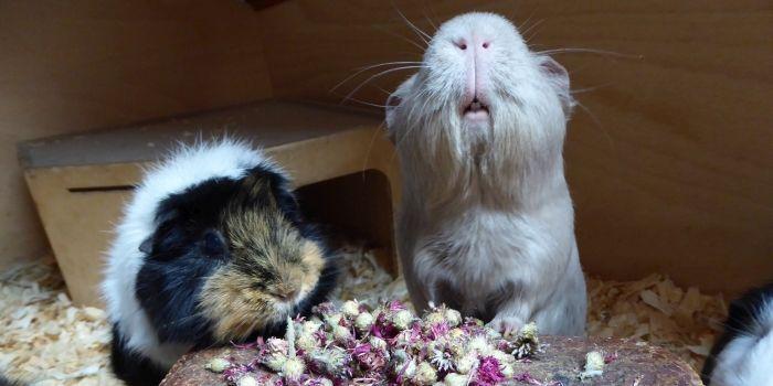 Meerschweinchen testen rote Kornblumenblüten