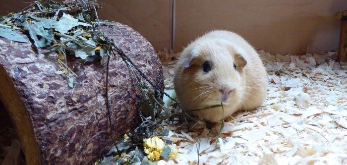 Meerschweinchen testen Schweinis Leckerschmecker