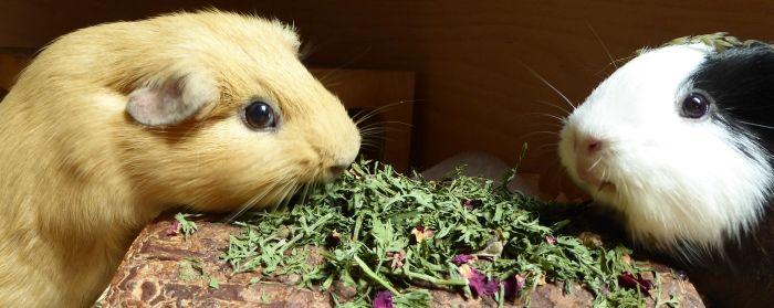 Meerschweinchen testen Möhrengrün mit Rosenblütenblättern
