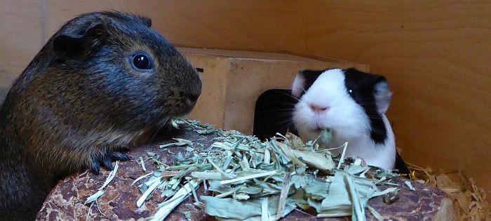 Meerschweinchen Mulle mit Chrissy