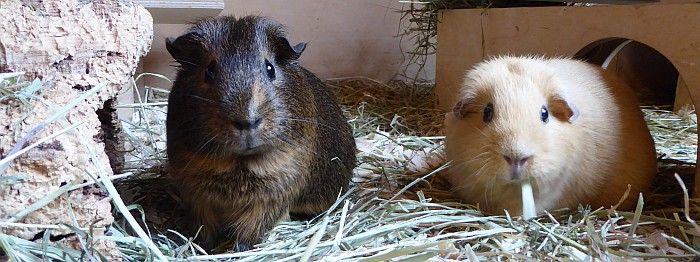 Meerschweinchen Mulle mit Ilani