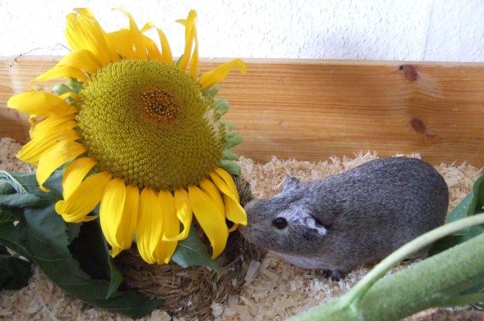 Meerschweinchen Frieda mit einer Sonnenblume