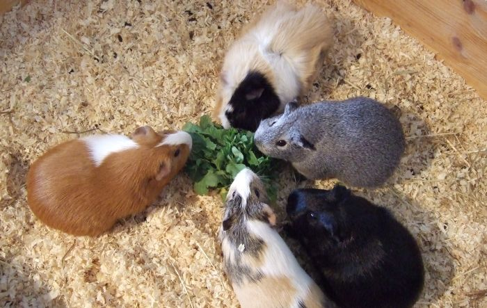 Die sifle Meerschweinchen essen Radieschenblätter
