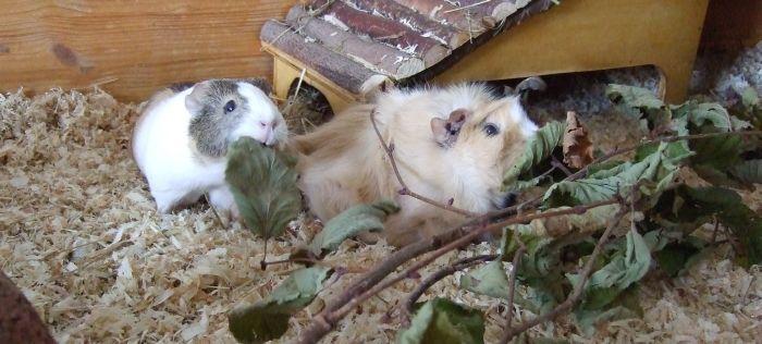 Meerschweinchen Flecki und Conny essen einen Ast mit getrockneten Blättern
