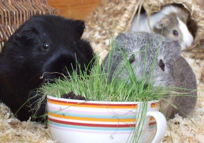 Meerschweinchen Ninja und Frieda