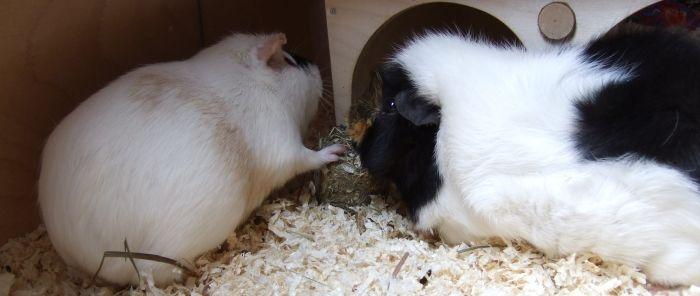 Meerschweinchen Fips und Flummi testen Grainless One