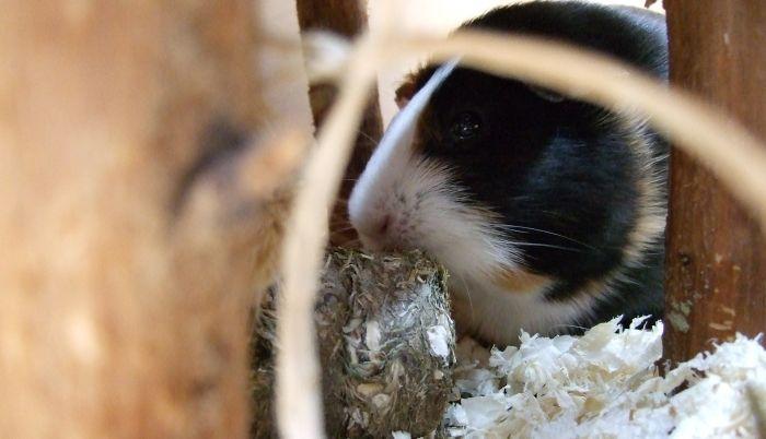 Meerschweinchen Muffi testet Grainless One