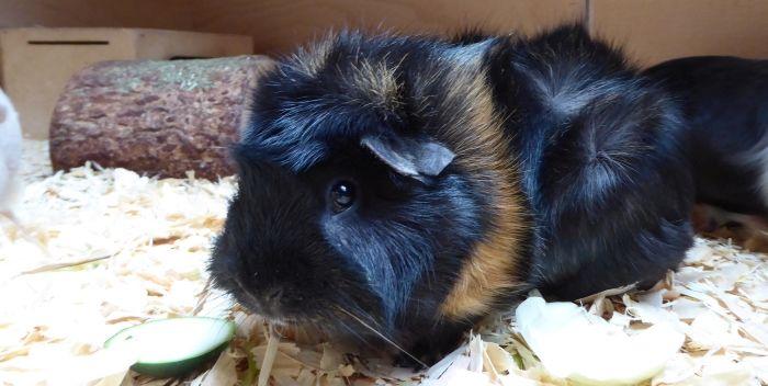 Meerschweinchen-Dame Pepper