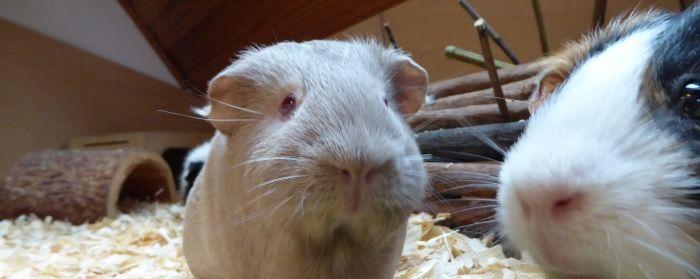 festgeklemmteTopinambur-Knabberstangen werden von Meerschweinchen ignoriert