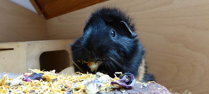 Traummischung im Schweine-Geschmackstest