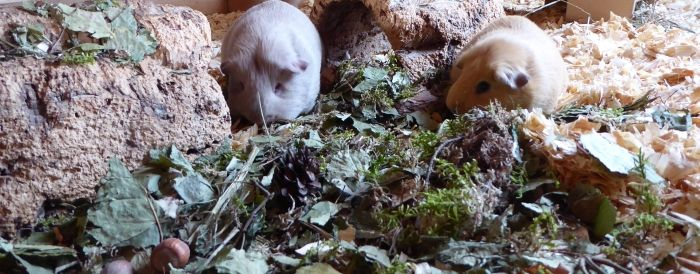 Meerschweinchen testen Walderlebnis-Überstreu