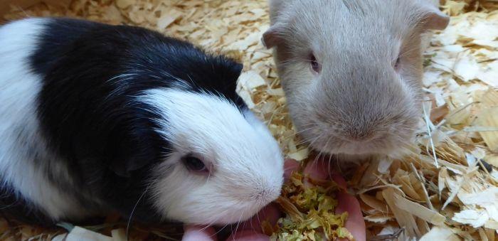 Wirsingflocken im Schweinetest