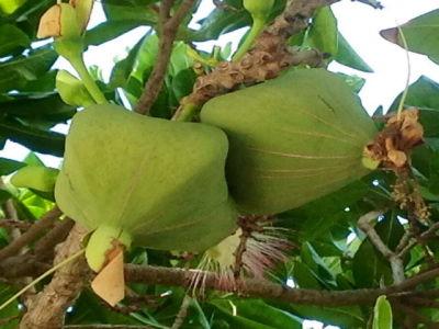 Teakbaum frucht  SONGKRAN.EU - Die Thailandseiten