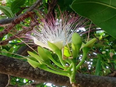 Teakbaum frucht  SONGKRAN.EU - Die Thailandseiten - Bäume Sträucher Thailand