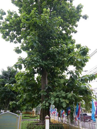 Teakbaum blatt  SONGKRAN.EU - Die Thailandseiten