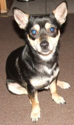 pies z niebieskimi oczami