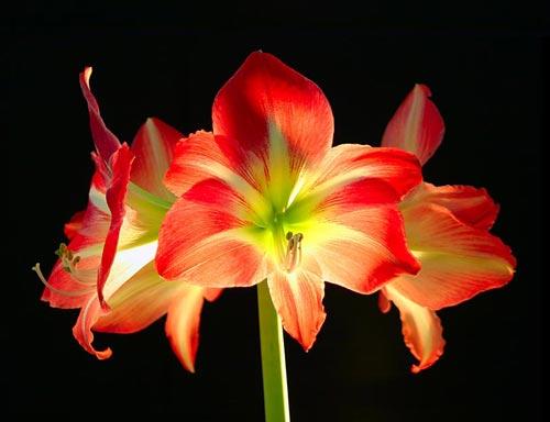 kwiat 19
