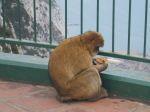 małpka na Gibraltarze