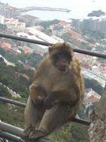 małpka z Giraltaru