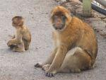 małpki na Gibraltarze