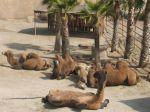 foto wielbłądy
