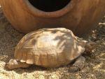 foto żółw